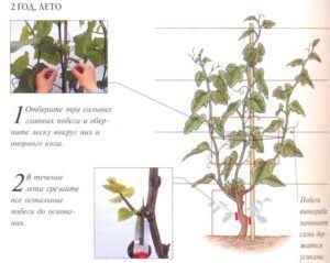 Формирование кроны винограда по системе Гюйо