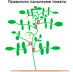 Правильное пасынкование томатов