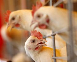 Как кур подсадили на антибиотики
