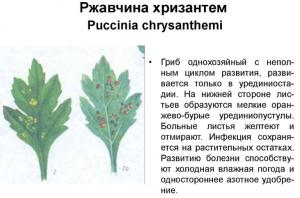 Болезнь хризантемы - ржавчина