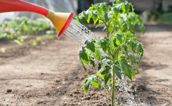 После пересадки - хризантему регулярно поливают теплой водой