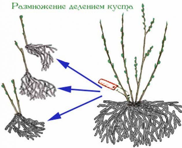 Размножение лапчатки делением куста