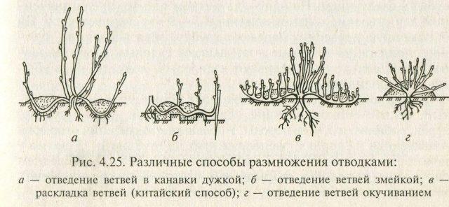 Размножение лапчатки отводками