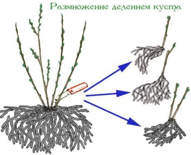 Размножение лаванды делением куста