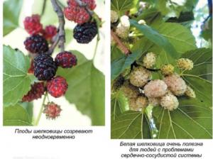 Шелковица - описание
