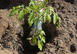 Правила выращивания клещевины в грунт
