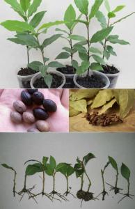 Размножение лавра семенами
