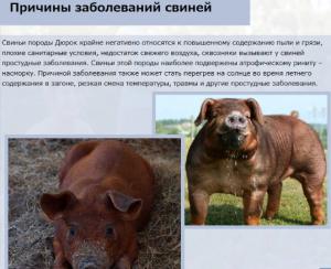 Заболевания свиней Дюрок