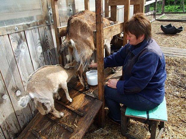 Доение козы