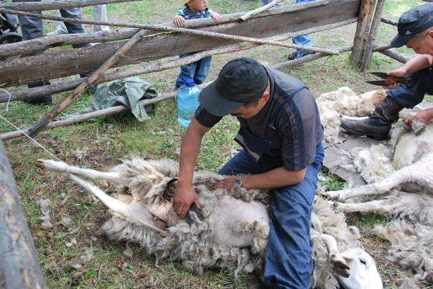 Стрижет овцу