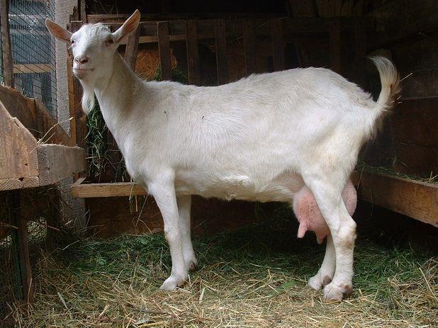 Зааненская коза