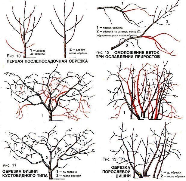 Схема обрезки вишни