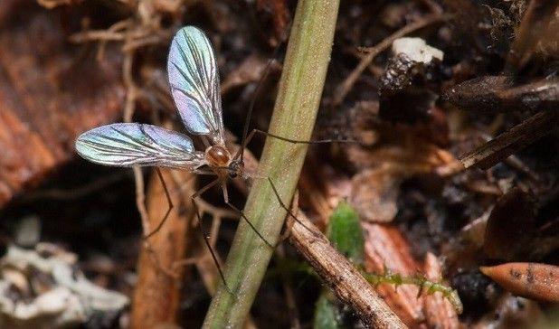 Грибной комарик на цветах