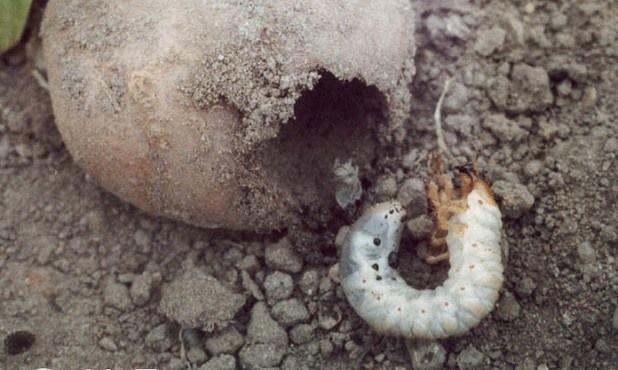Личинка майского жука в картофеле