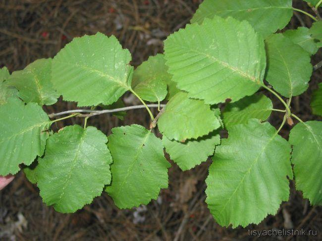 Ольха серая- листья