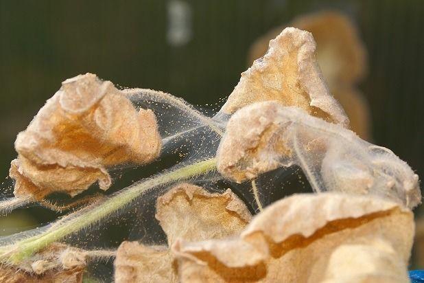 паутинный клещ на винограде