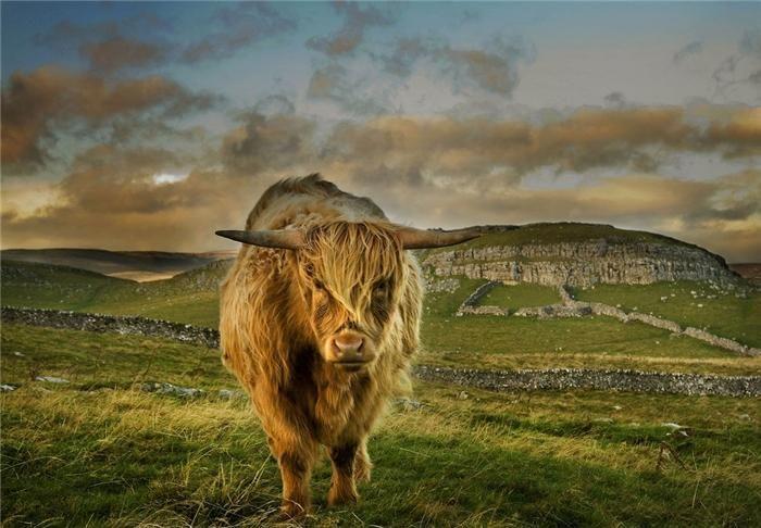 волосатая корова