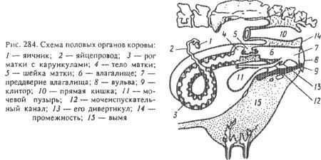 органы репродукции коровы