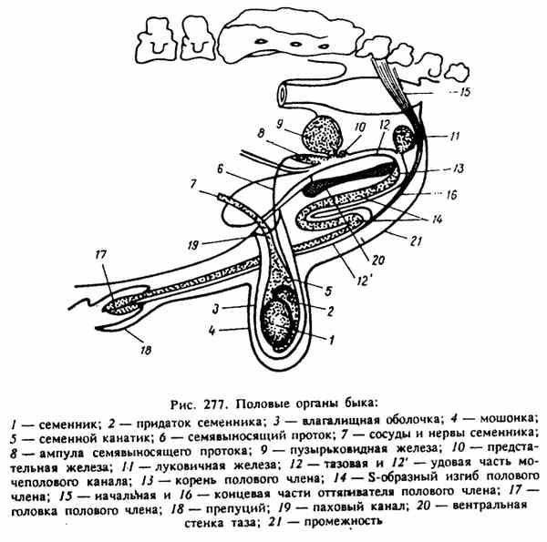 органы репродукции быка