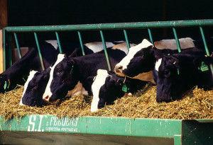 грубые корма для коров