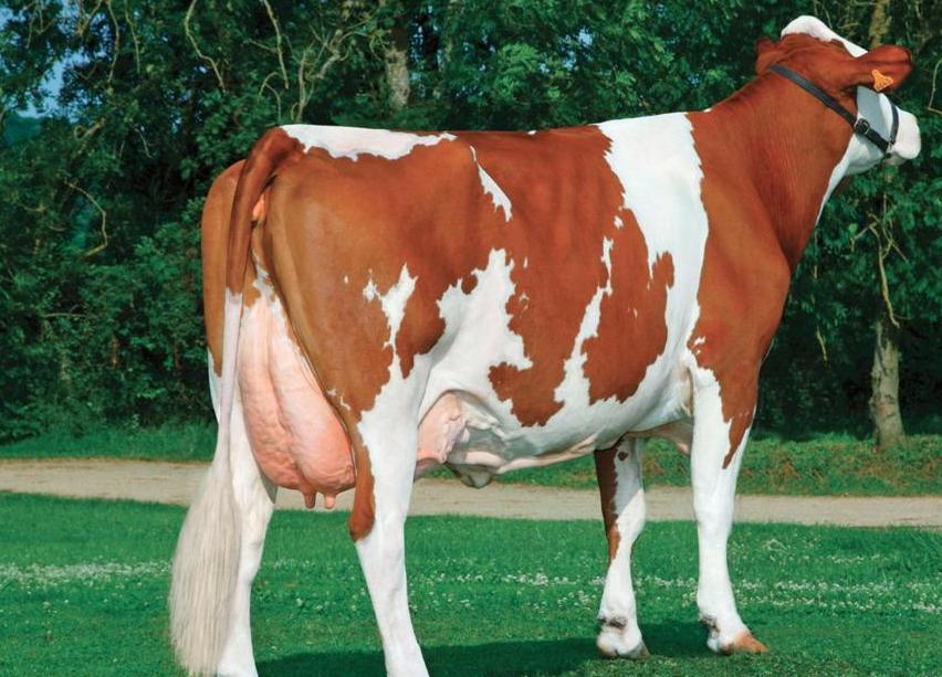 Красно пёстрая корова