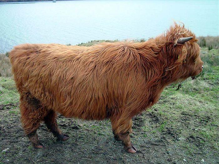 Шотландская высокогор