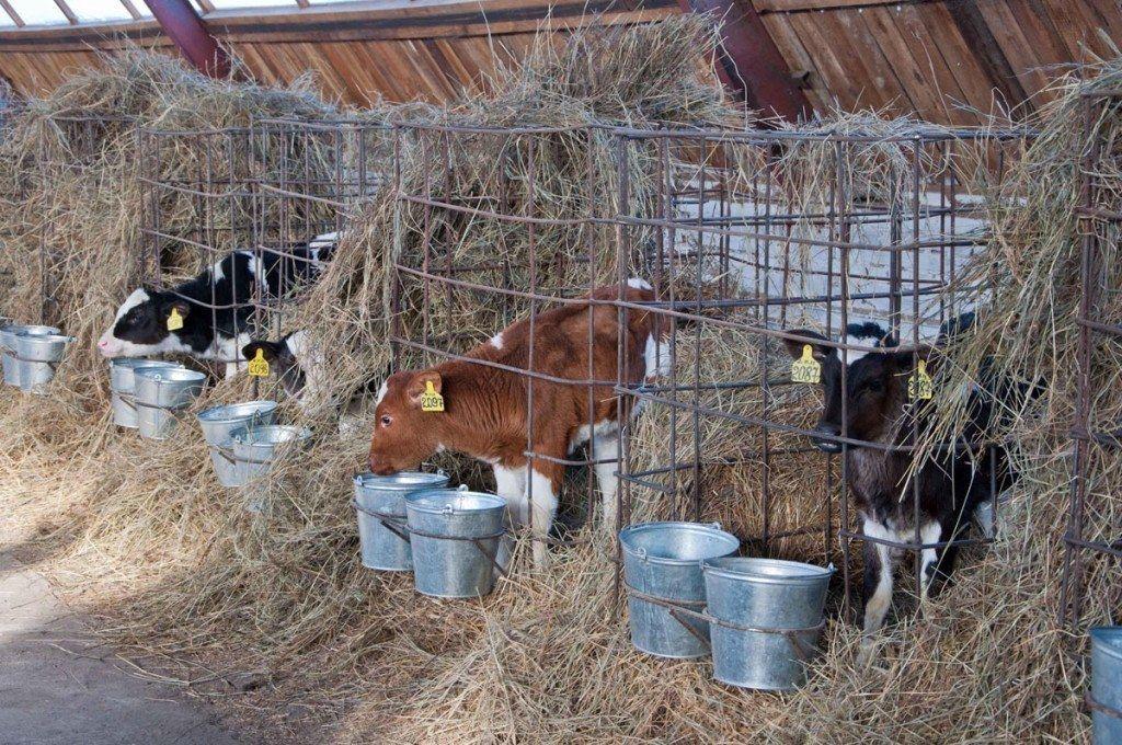 Загон для коров