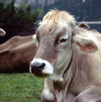 Опасное заболевание коров - эндометрит