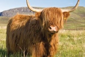 шотландка волосатая