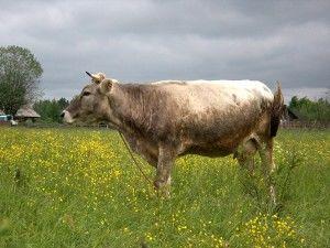 Костромская порода