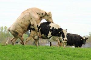 Естественный и искусственный метод спаривания коров