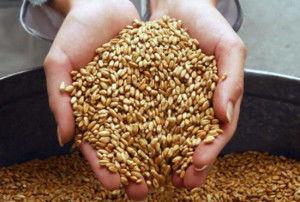зерно для коров