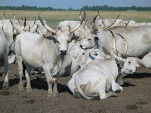 Серая украинская порода коров
