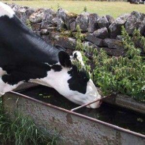 Поилка для коров
