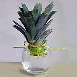 Посадка и пересадка ананаса