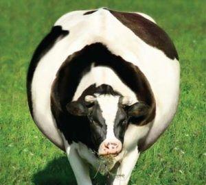 Тимпания рубца у коров