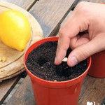грунт для лимона высадка