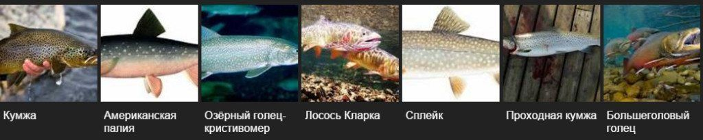 разновидности форели