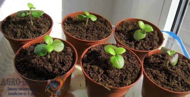 семена барлерия