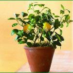цветение лимонного дерева