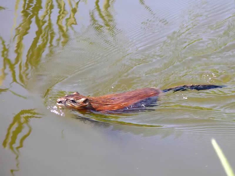 Среда обитания ондатры