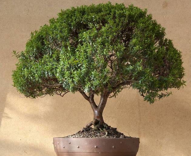 дерево мирт