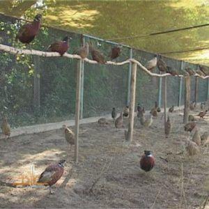 Клетка для фазанов должна быть большая