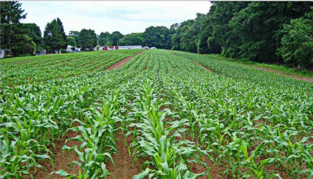 ранняя кукуруза до начала лета