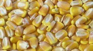 ранняя кукуруза семена