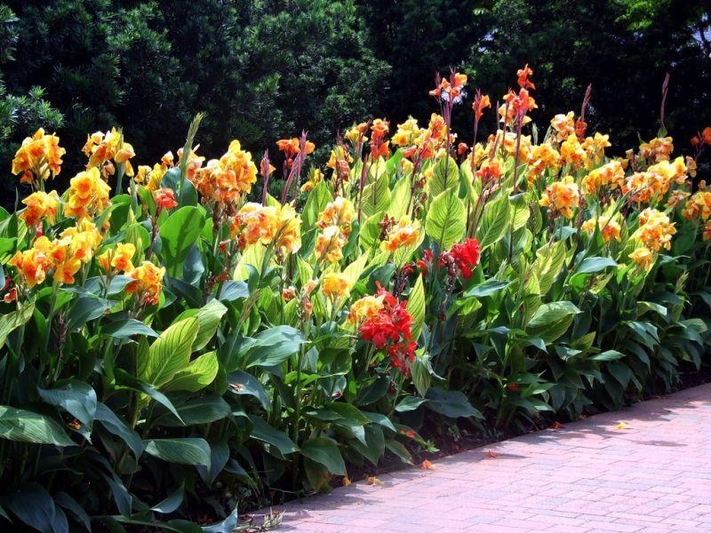 Цветущие канны