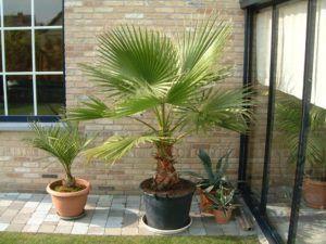 Пальмы требуют много света - поэтому летом их выставляют на балкон или во двор