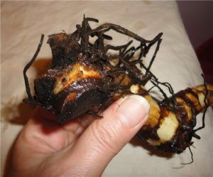 После выкапывания требуется сразу же промыть корневища в растворе марганцовки