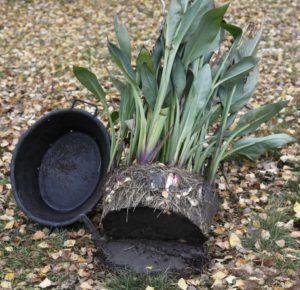 После высадки цветы не удобряйте, дождитесь, пока они примутся на новом месте