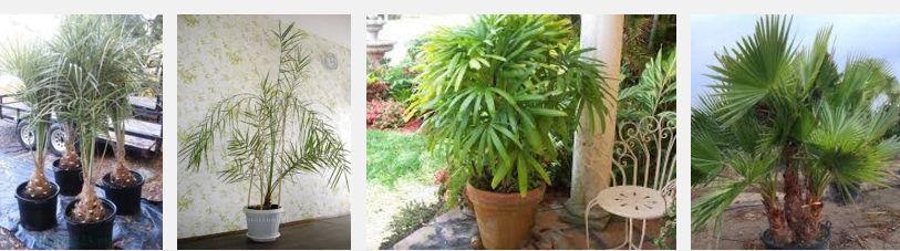 Доступные виды пальмовых деревьев